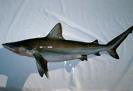 440px-Carcharhinus_altimus_nefsc.jpg