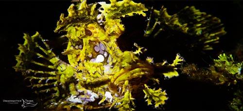 ambon-Scorpion-fish.jpg