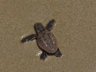baby-sea-turtle.jpg