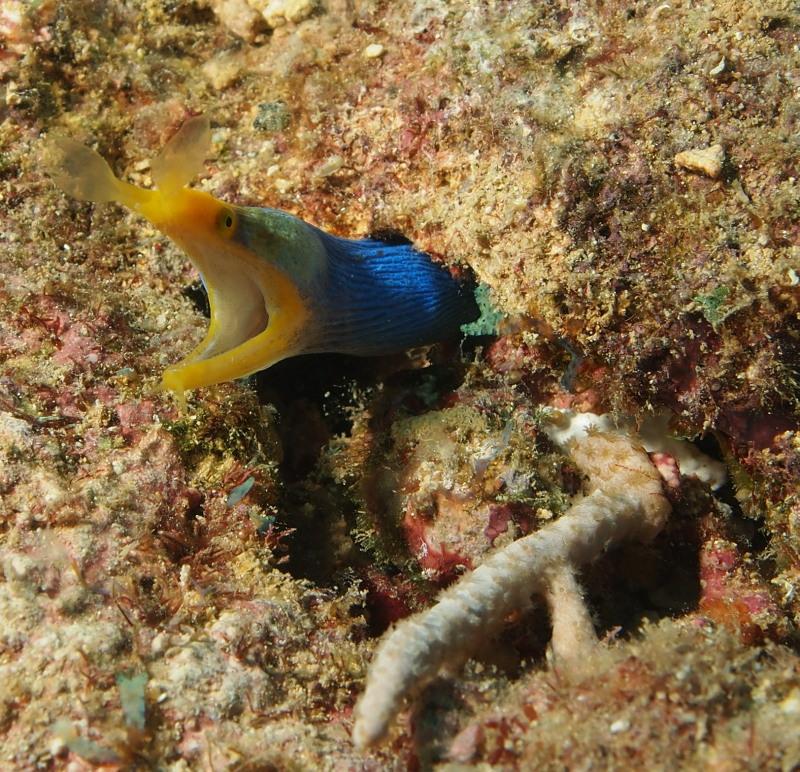 Blue Ribbon Eel.jpg