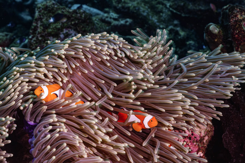 clown fish11.jpg