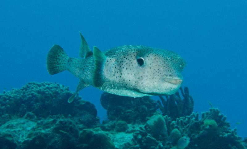 Coz Jun 2020 Porcupinefish 001.jpg