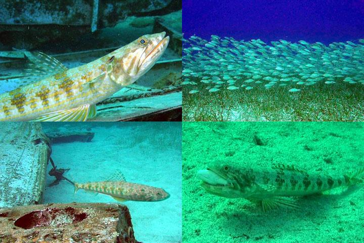 DDDB 805 lizardfish sm.jpg