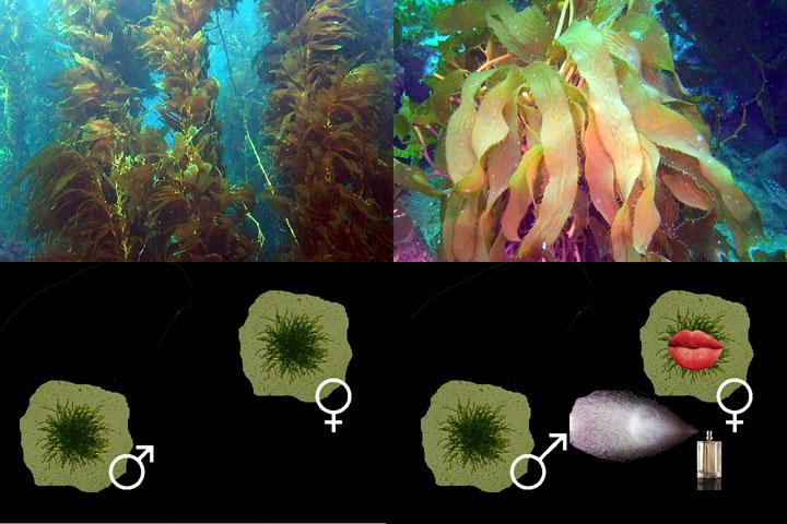 DDDB 890 kelp pheromones sm.jpg