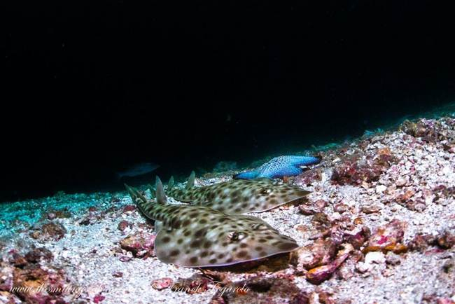 guitarfish-orig-orig_orig.jpg