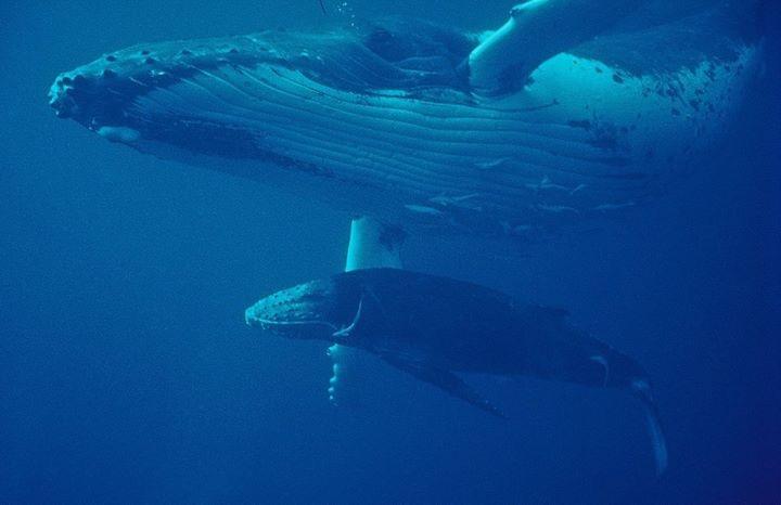 Humpback and calf, Tonga.jpg