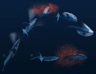 humpback-barrel-rolls.jpg