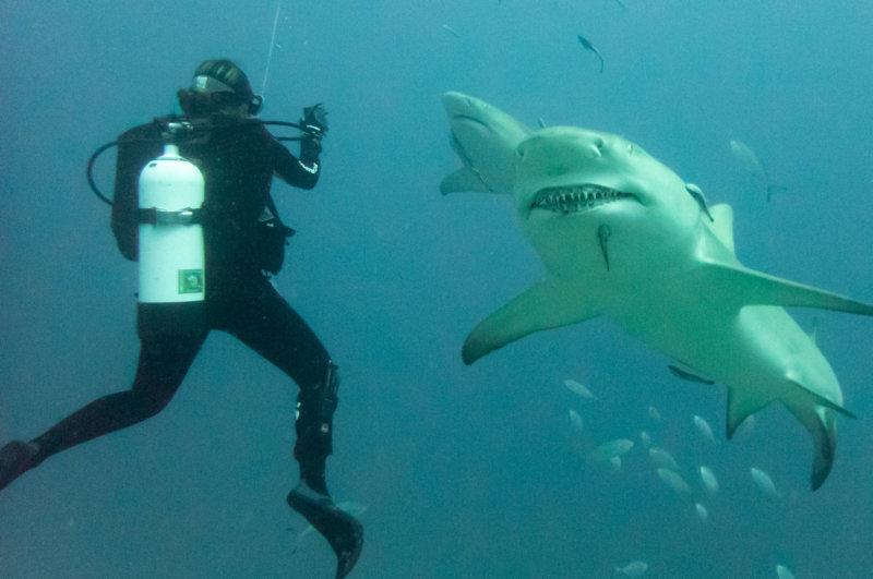 Lemon Sharks greeting Anne on splashing at Jupiter Wreck Trek close-2.jpg