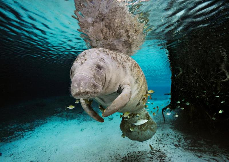 manatee-skerry-for-web.jpg