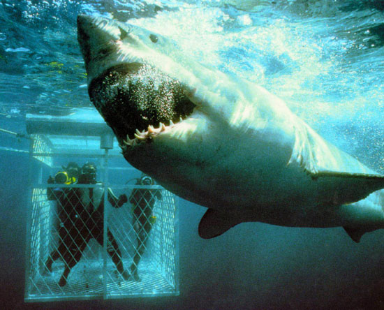 MD-and-KD-Great-white-Shark-cage-Shark.jpg