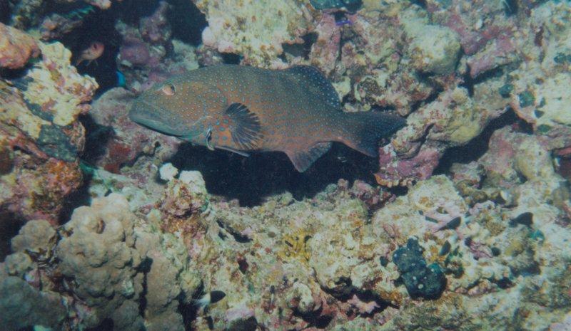 Mérou coraillien.jpeg