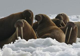 pacific-walrus-usfws.jpg