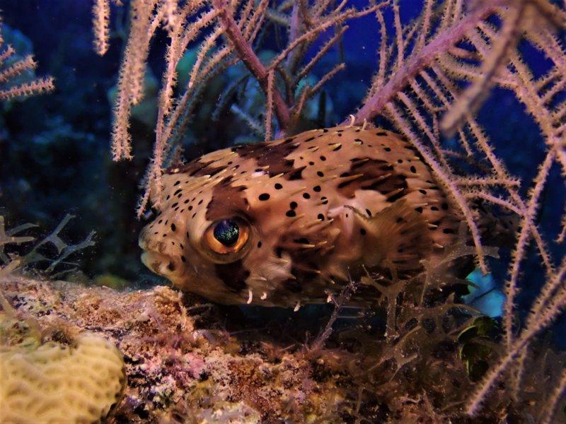 Radar Reef Puffer.jpg