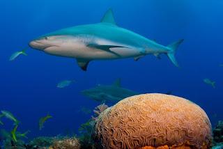 reef-shark.jpg