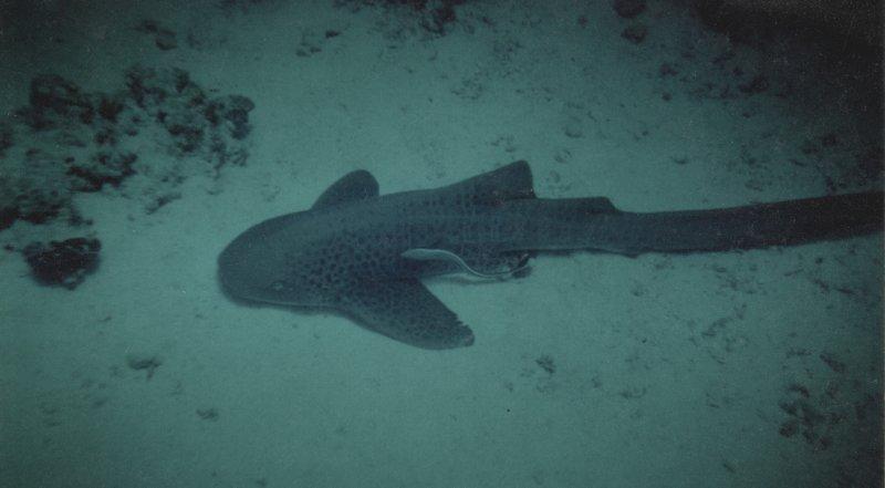 Requin léopard 20050531.jpeg