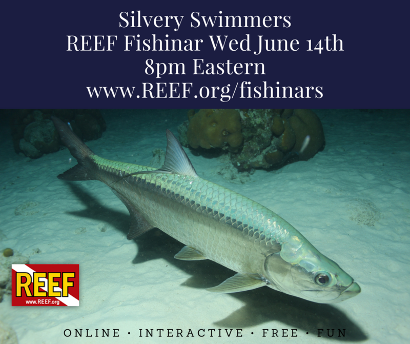 Silvery SwimmersREEF Fishinar Wed June 14th.png