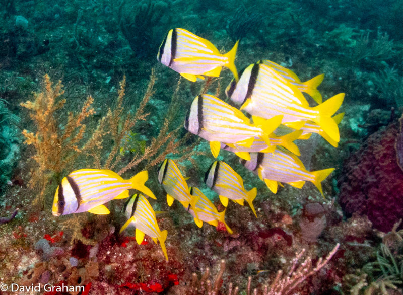 Small school of yellow snapper in formation into the current.JPG