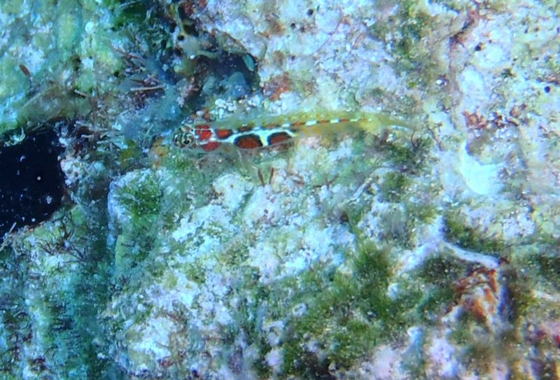 Undetermined Goby 2.jpg