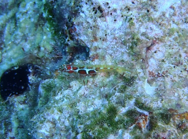 Undetermined Goby 3.jpg