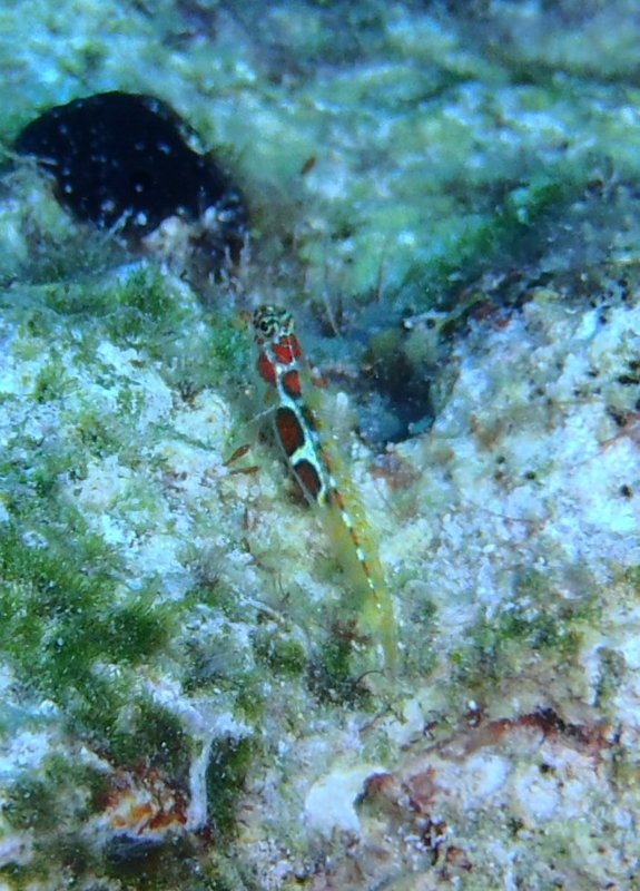 Undetermined Goby.JPG